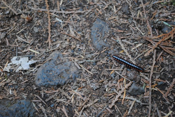 Peanut was absolutely fascinated by this millipede (which started a little unschool conversation about how we could tell it was a millipede and not a centipede).